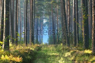 Fototapet Dimmig soluppgång i lövskogen i Lettland.