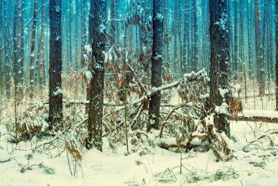 Fototapet Dimmig tallskog täckt med första snön