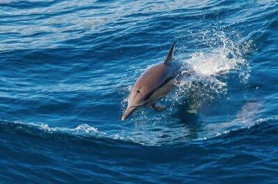 Fototapet Dolphin hoppar upp ur vattnet