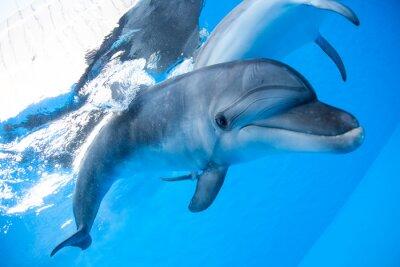 Fototapet Dolphin simmar under vattnet