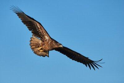 Fototapet Eagle under flygning
