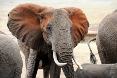 Fototapet Elefant i nationalparken Kenya