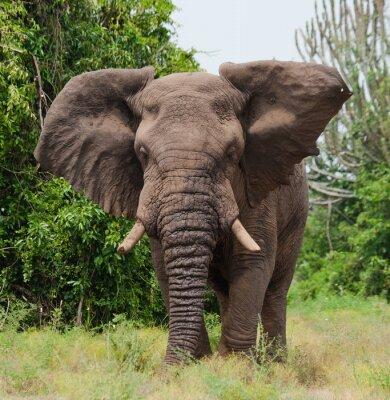 Fototapet Elefant i savannen. Skott från luftballong. Afrika. Kenya. Tanzania. Serengeti. Maasai Mara. En utmärkt illustration.