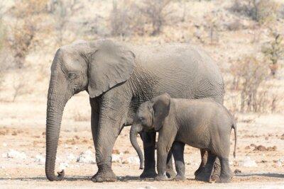 Fototapet Elefant ko och Calw i Namibia