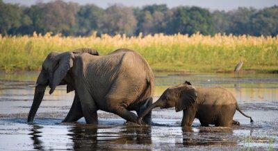 Fototapet Elefant med barnet korsar floden Zambezi.Zambia. Lower Zambezi National Park. Zambezifloden. En utmärkt illustration.