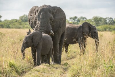 Fototapet Elefant med unge
