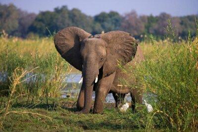Fototapet Elefant som står på gräset nära floden Zambezi. Zambia. Lower Zambezi National Park. Zambezifloden. En utmärkt illustration.