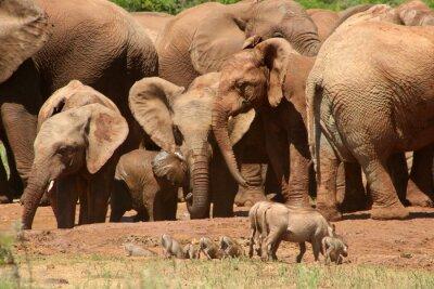 Fototapet Elefanter ADD0 07