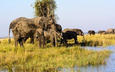 Fototapet Elefanter dricka från floden Chobe