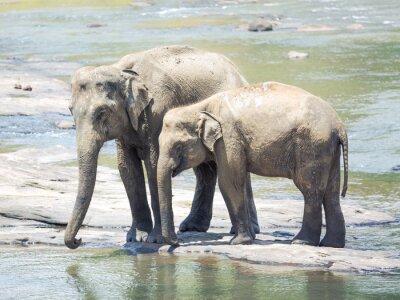 Fototapet Elephatnts