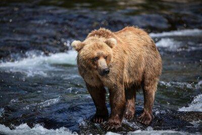 Fototapet En Alaskan bruna söker efter lax i räfflorna i Brooks River.