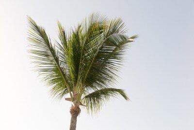 Fototapet En Coconut palm och blå himmel