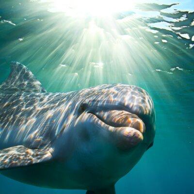 Fototapet En delfin under vattnet med solstrålar. Closeupstående