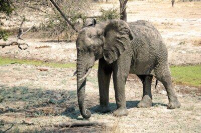 Fototapet En elefant på savannen - Tanzania - Afrika