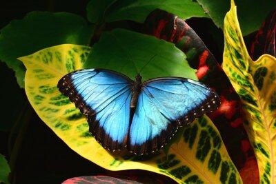 Fototapet En ganska BlåttMorpho fjäril landar i fjärilen trädgårdar.