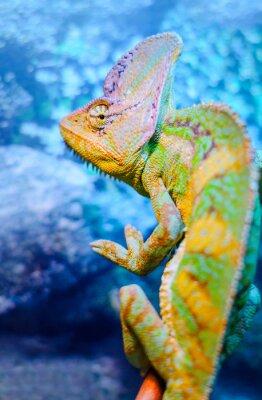 Fototapet En grön kameleont