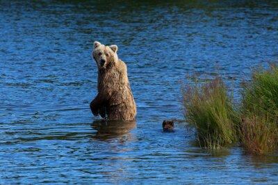 Fototapet En mamma björn ser tillbaka för att kontrollera sina ungar samtidigt som korsar Brooks River, Katmai National Park, Alaska