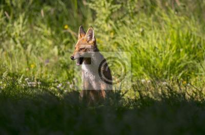 Fototapet En röd räv, Vulpesvulpes, juvenil sitter i gräset morrande