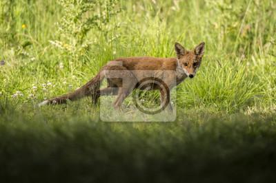 Fototapet En röd räv, Vulpesvulpes, ungdoms stående i gräset tittar på kameran