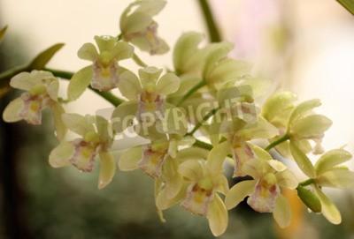 Fototapet En vacker orkidé i Thailand
