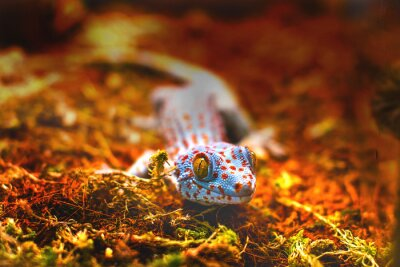 Fototapet exotiska djur tokaygecko ödla