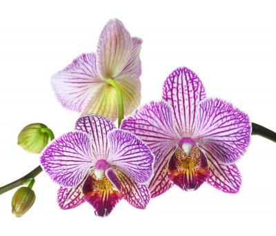 Fototapet Extrem skärpedjup Foto av en tre Orchid Blooms