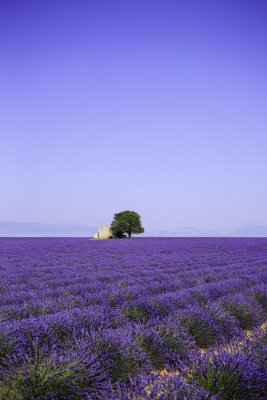Fototapet fält blommande lavendel med gammal bondgård - Provence, Frankrike