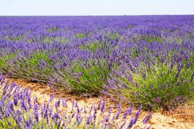 Fototapet fält med anläggningen blå lavendel