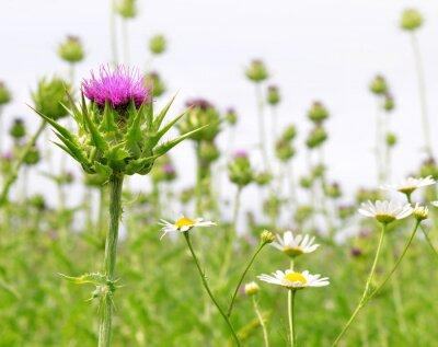 Fototapet Fält med Silybum marianum (Milk Thistle), Medicinalväxter.