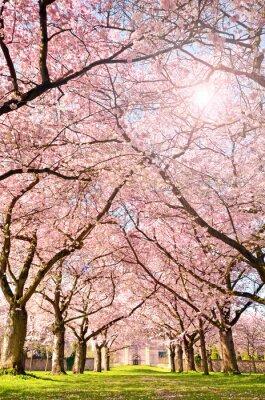 Fototapet Färg på våren: trädgård med japanska körsbär blommar :)