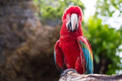 Fototapet Färgrik papegoja, ara fågel