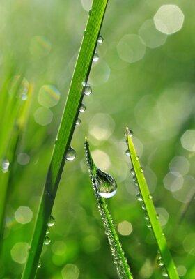 Fototapet Färskt grönt gräs med daggdroppar närbild. natur bakgrund