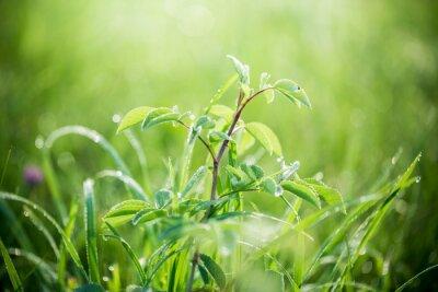 Fototapet Färskt grönt gräs med vattendroppar på bakgrund av solljus balkar. mjuk fokus