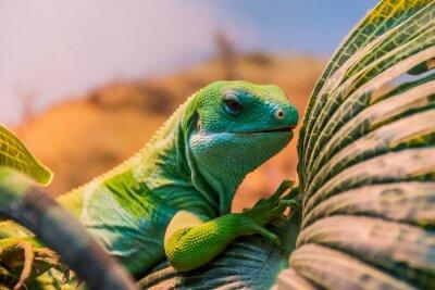 Fototapet Fiji bandad iguana