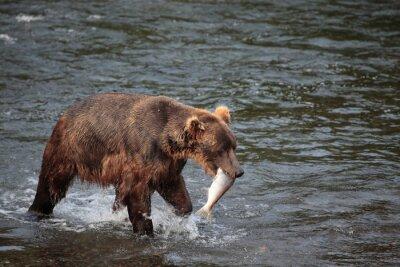 Fototapet fiske björn