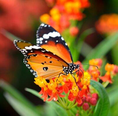 Fototapet Fjäril på orange blomma i trädgården