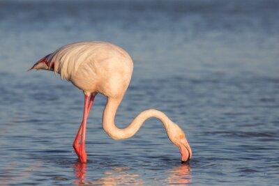 Fototapet Flamingo, Camargue, Frankrike