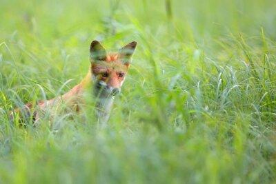 Fototapet Fox gömd i gräset i naturen