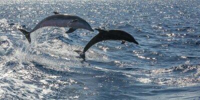 Fototapet frisimmande delfiner utanför Teneriffa