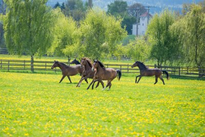 Fototapet galopoierende unghästar på bete