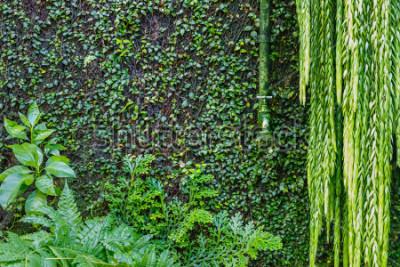 Fototapet Gammal grön vattenkran på väggen övervuxen med grön murgröna och creeper, trädgårdsgrön bakgrund. Våtgröna växter