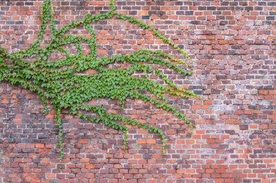 Fototapet Gammal röd tegelvägg bevuxen med murgröna