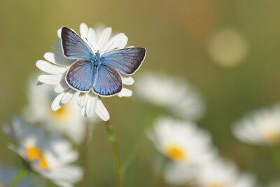 Fototapet Gemensam Blue Butterfly