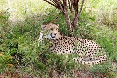 Fototapet gepard 03