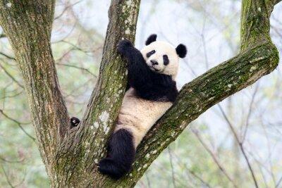 Fototapet Giant Panda sitta i träd, Szechuan, Kina
