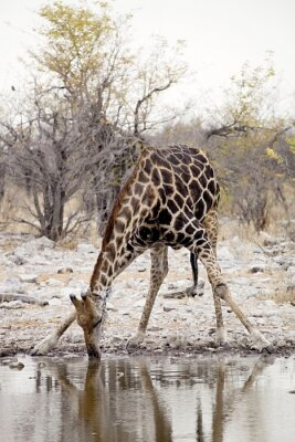Fototapet Giraff, Giraffacamelopardalis, i Etosha National Park, Namibia