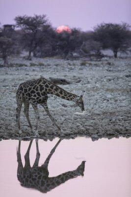 Fototapet Giraff på Okaukuejo vattenhål.