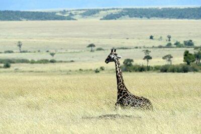 Fototapet Giraff på savannen