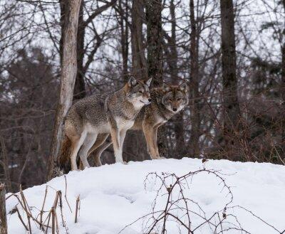 Fototapet Grå eller grå vargarna