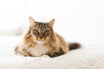 Fototapet Grå katt liggande på sängen